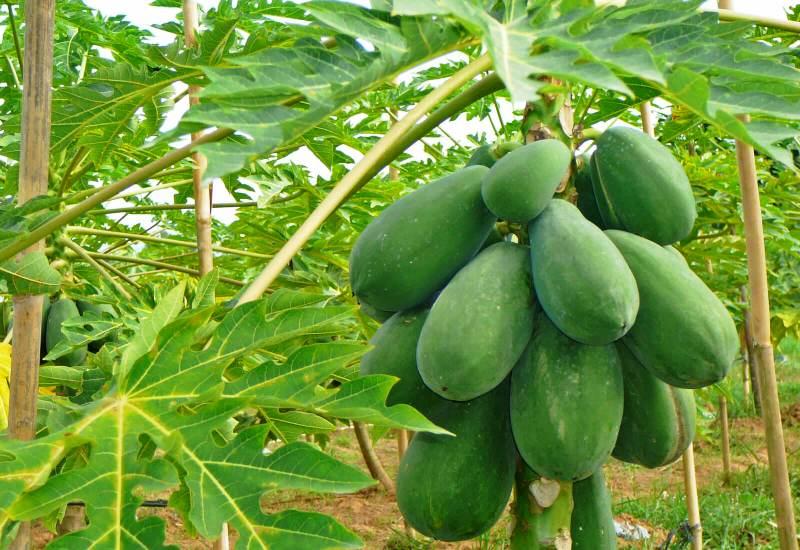 Bagian-bagian dari Pohon Pepaya & Manfaat Pengobatan Herbal