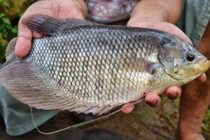 Cara Membudidaya Ikan Gurame di Berbagai Tempat
